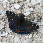Poplar Admiral butterfly blog post