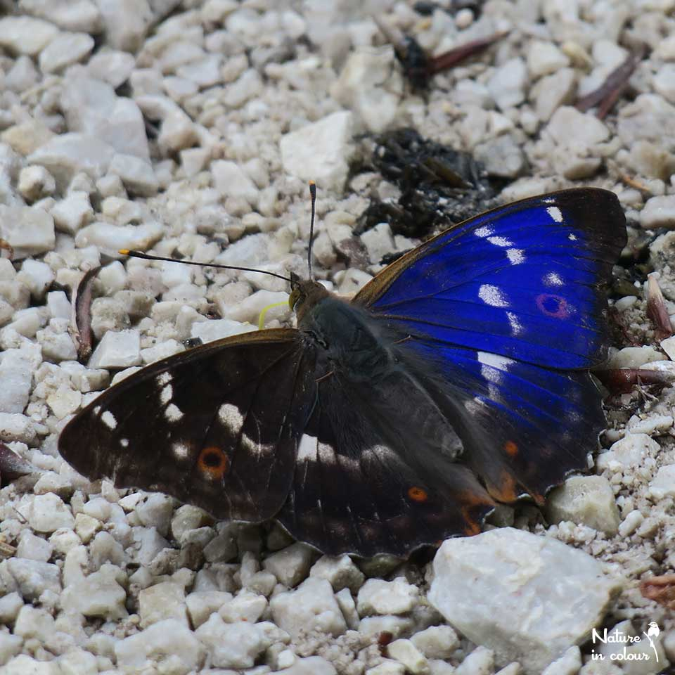 Purple admiral: one of the most impressive butterflies of Slovenia