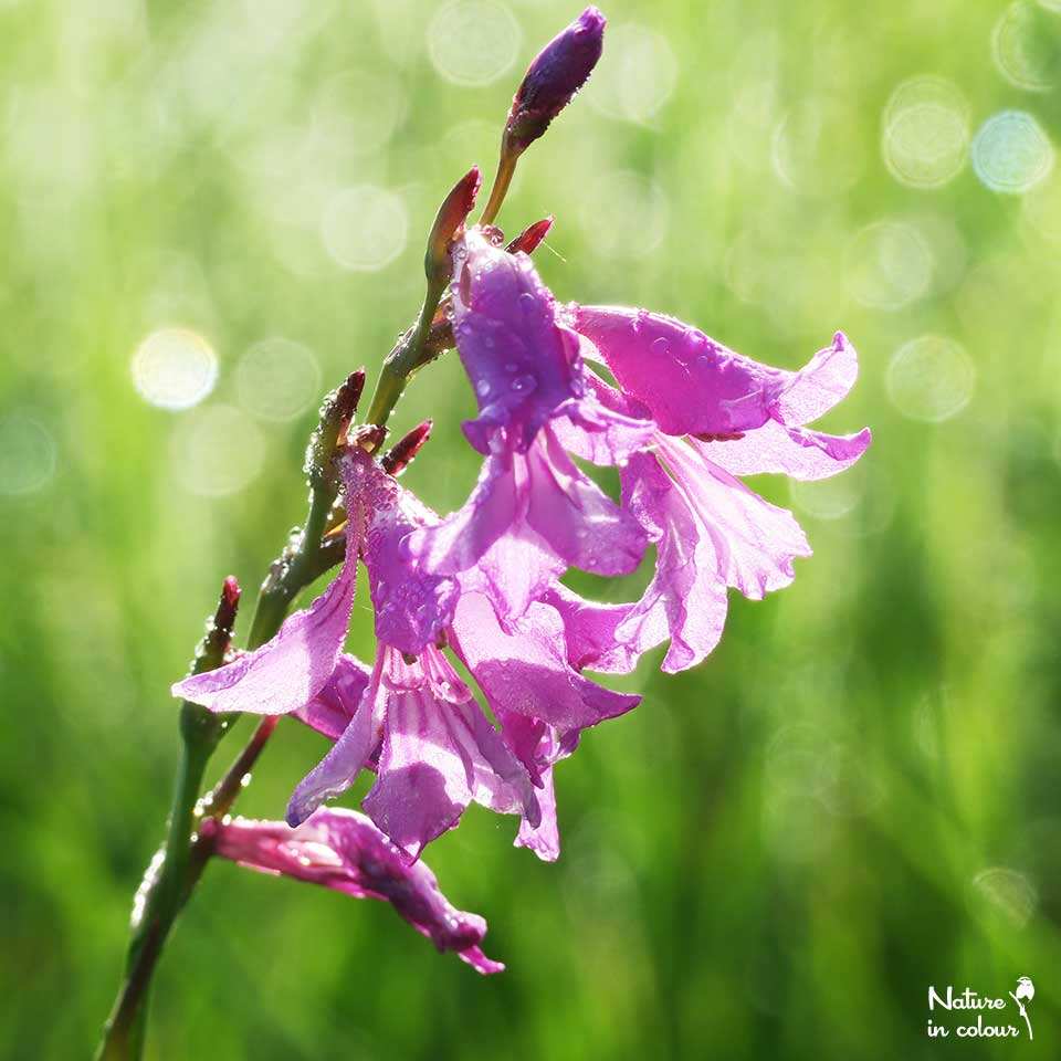 Wild gladiolus abound at Lake Cerknica in June-July.