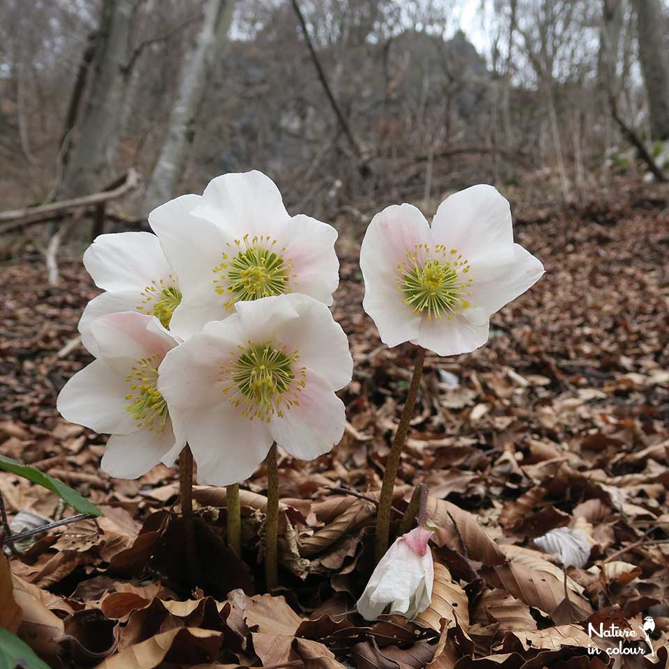 Christmas rose flowers in February-March. Later in the year, we can find its evergreen leaves.