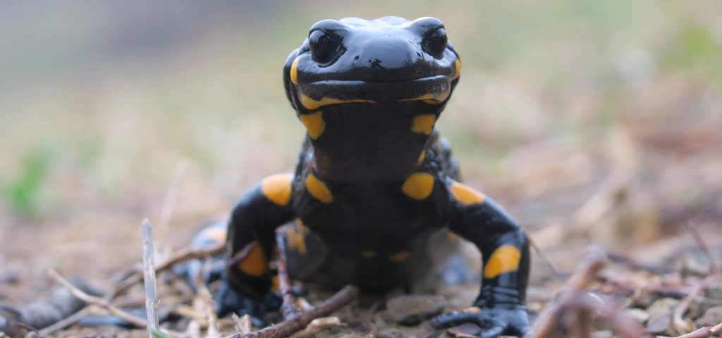 Salamander at our Nature In Colour Tour