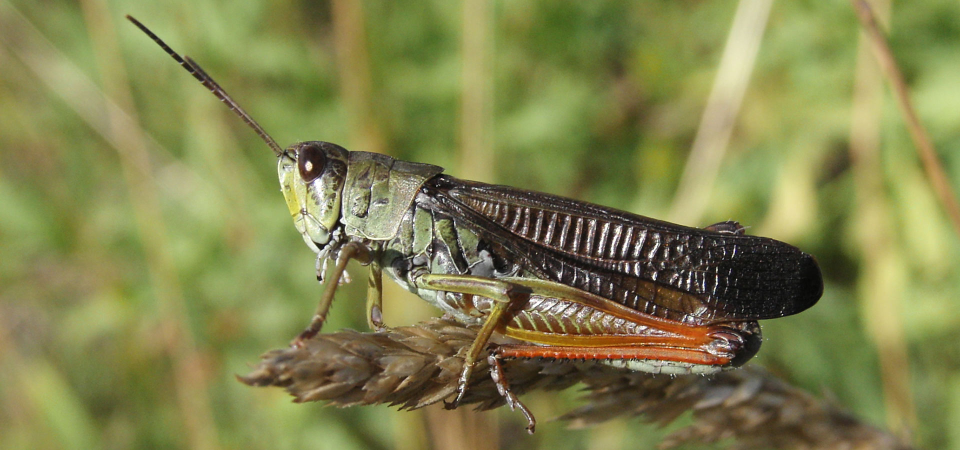 Stauroderus scalaris, a species which we will see during our grasshopper tour in Slovenia