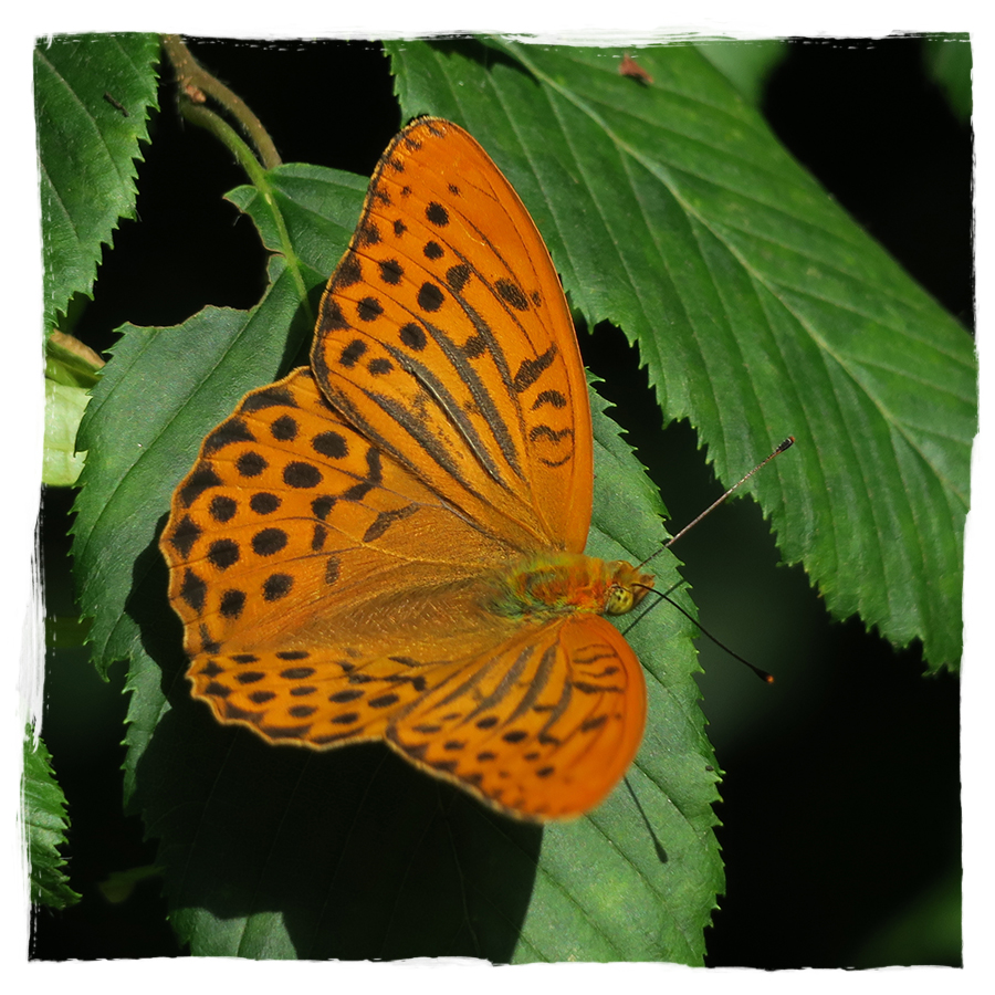 A silver-washed frittilary; beautiful butterfly in the forests of Slovenia.