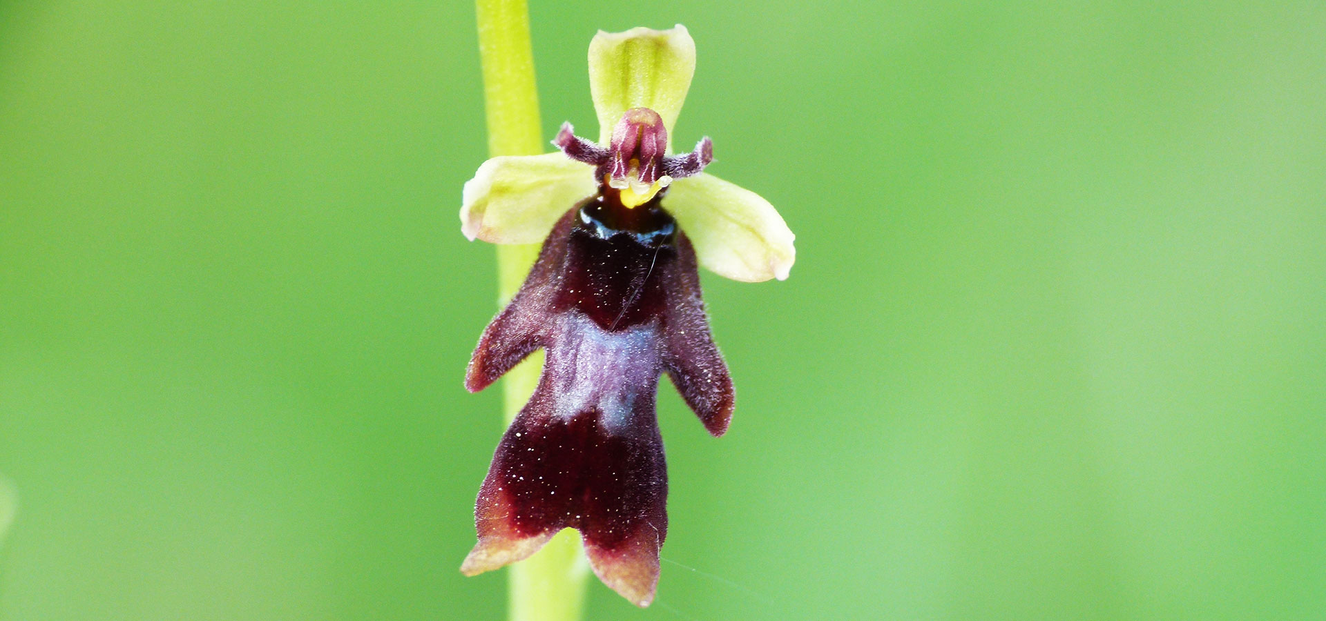 Join our Slovenian Wild Orchid Tour, by Nature in Colour
