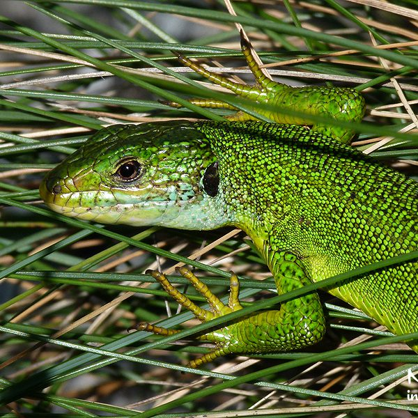 Green Lizard, Lacerta cf. bilineata