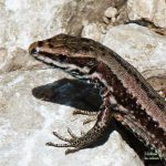 Wall lizard in Slovenia