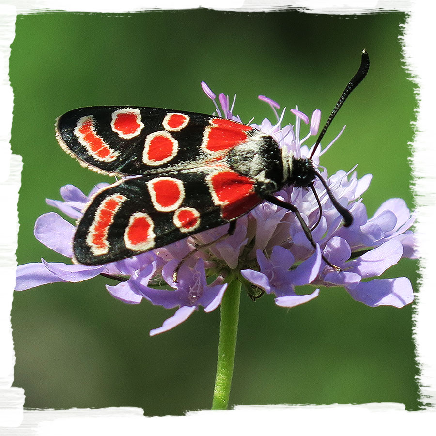 Eastern burnet, one of the beautiful day-active moths which we can encounter in the meadows at the Bloke plateau in Slovenia