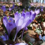 Crocus heuffelianus in Slovenia