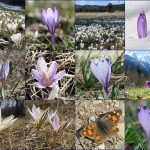 Wild Crocus in Slovenia