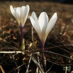 Crocus vernus in Slovenia