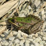 Marsh frog at Skocjan bay bird reserve in Slovenia