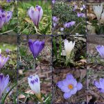 Spring Crocus variations in Panovec forest in Slovenia