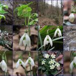 Snowdrop & co in Panovec forest in Slovenia