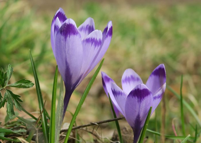 Spring Crocus in Panovec Forest in Slovenia