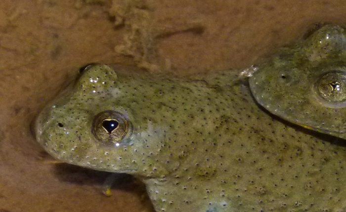 Yellow-Bellied Toads, Bombina variegata