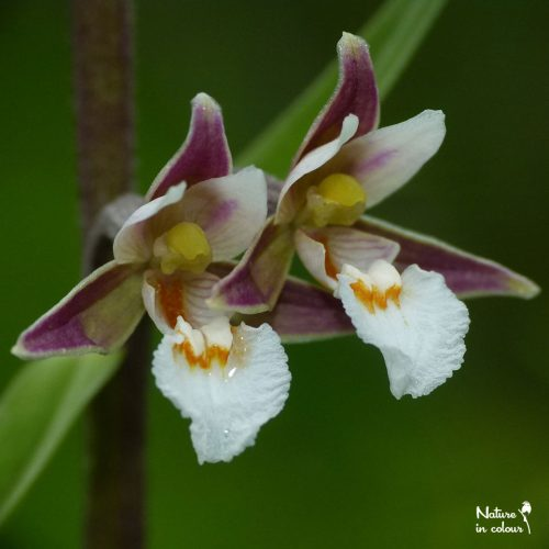 Marsh helleborine: an outstanding European orchid.