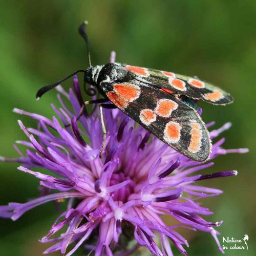 The Eastern burnet, Zygaena carniolica, is a beautiful day-active moth