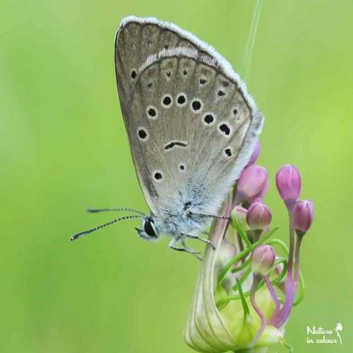 Scarce large blue, Phengaris teleius. The Bloke plateau is a stronghold for this species, as long as meadows remain managed in the traditional way.