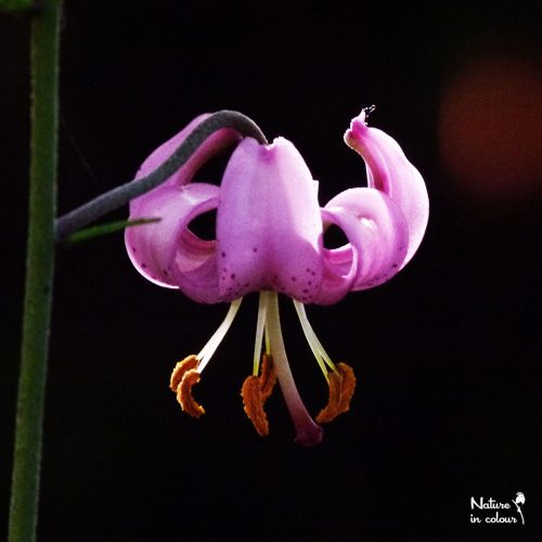 Martagon lily flowers in early summer. In southern Slovenia, these plants often stay small, because Roe deer eat them.