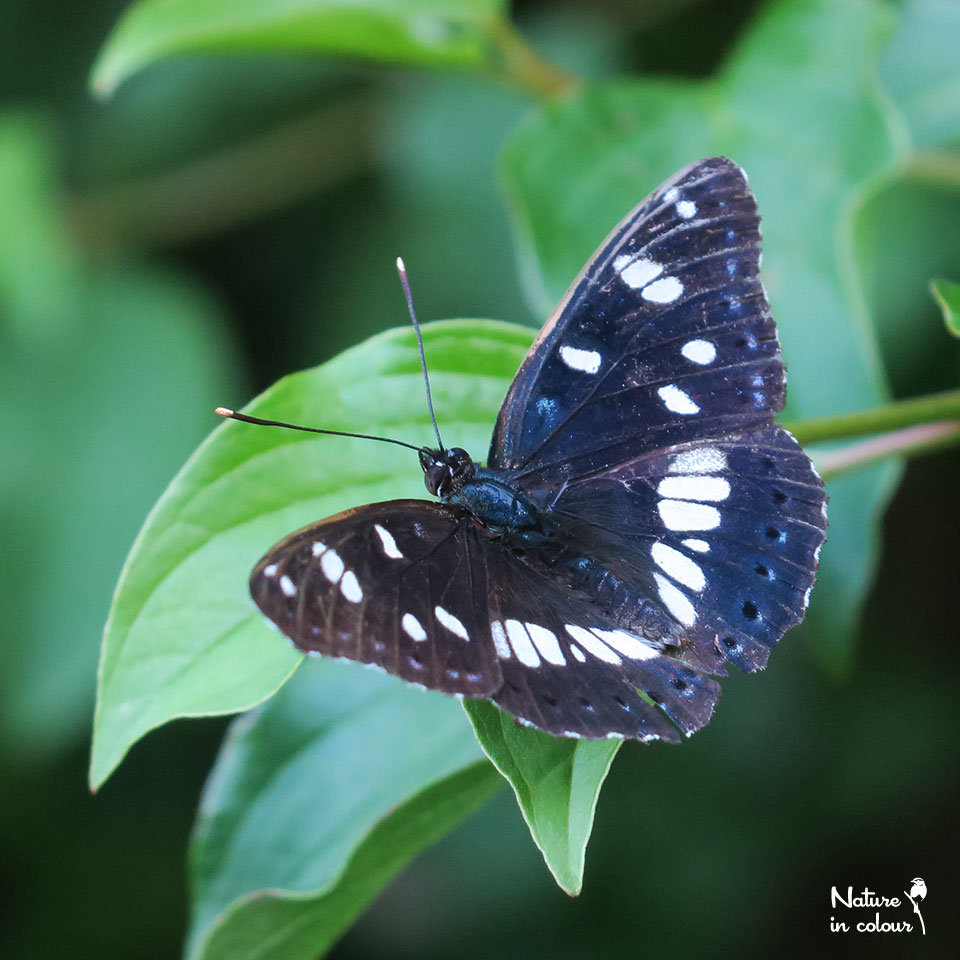 Southern White Admiral - Limenites reducta