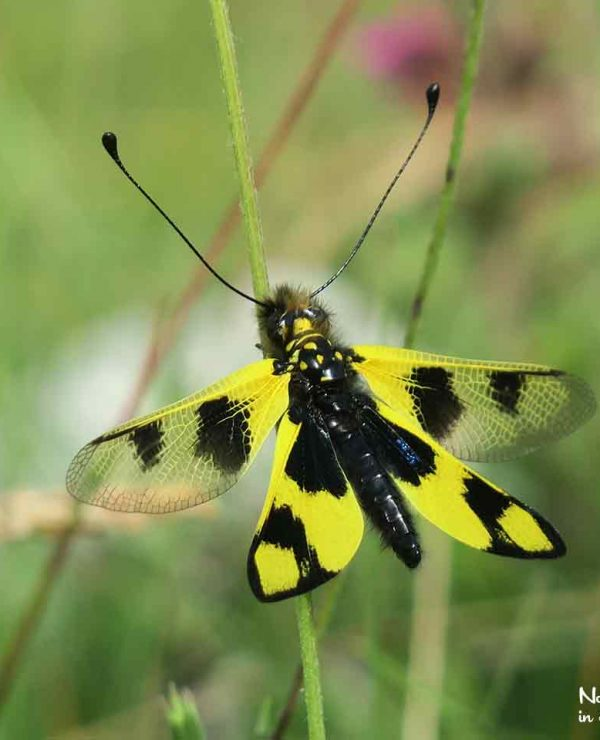 With their striking appearance, Owlflies seem to resemble both dragonflies and butterflies. In the Slovenian karst, they are not rare.