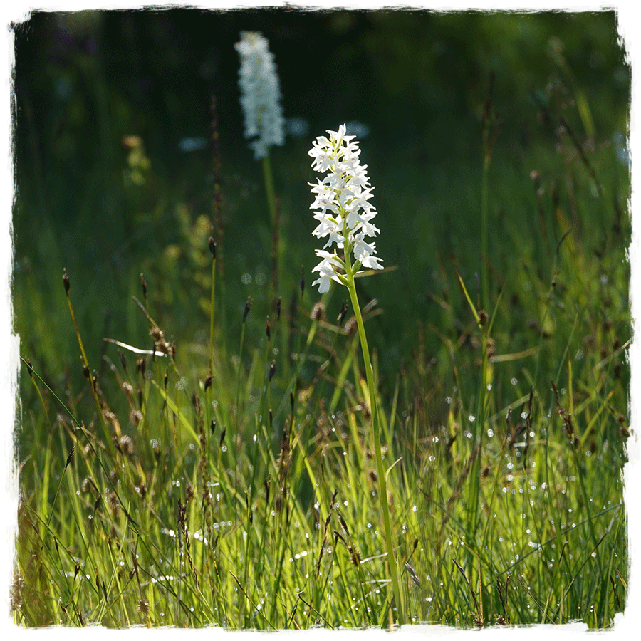 The pure-white Transylvanian orchid: a rare flower which grows on the Bloke plateau in Slovenia