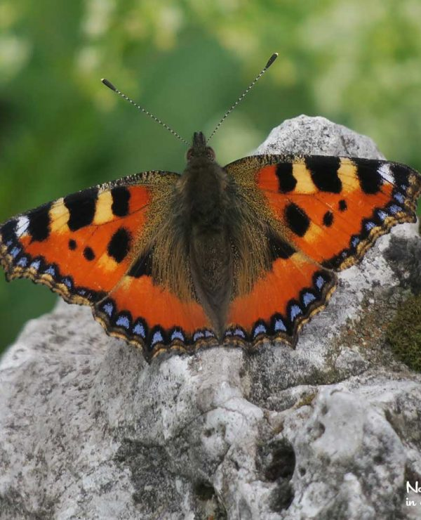 Tortoiseshell butterflies may be seen throughout the year: tehy winter as adults and fly whenever the temperature is high enough.