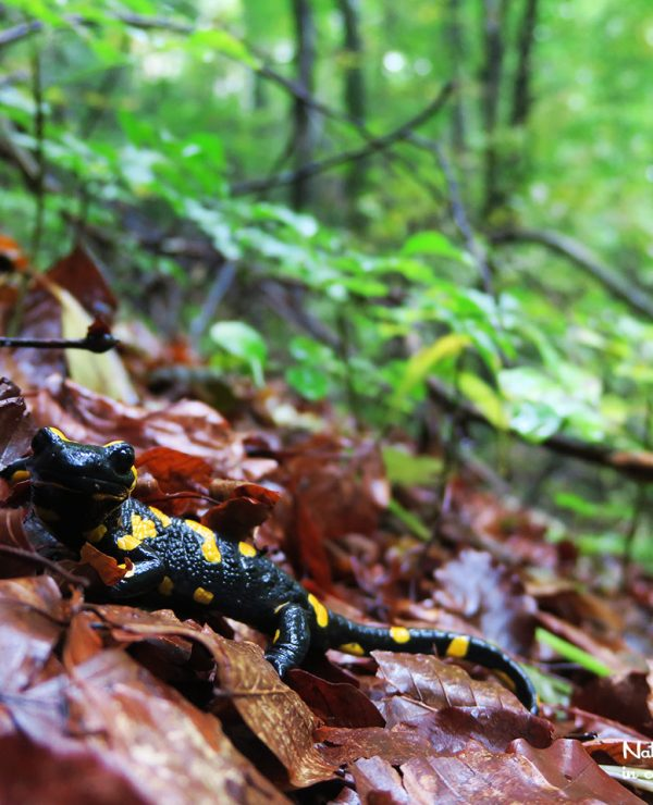 If we are lucky, we may meet the bright coloured Fire Salamander in the forest