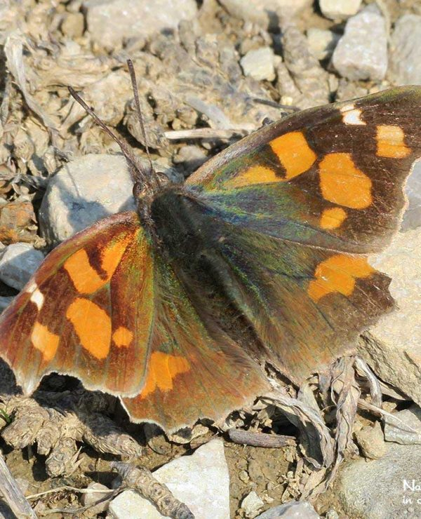 Nettle-tree butterflies winter as adults and can be seen on warm days throughout autumn and winter.