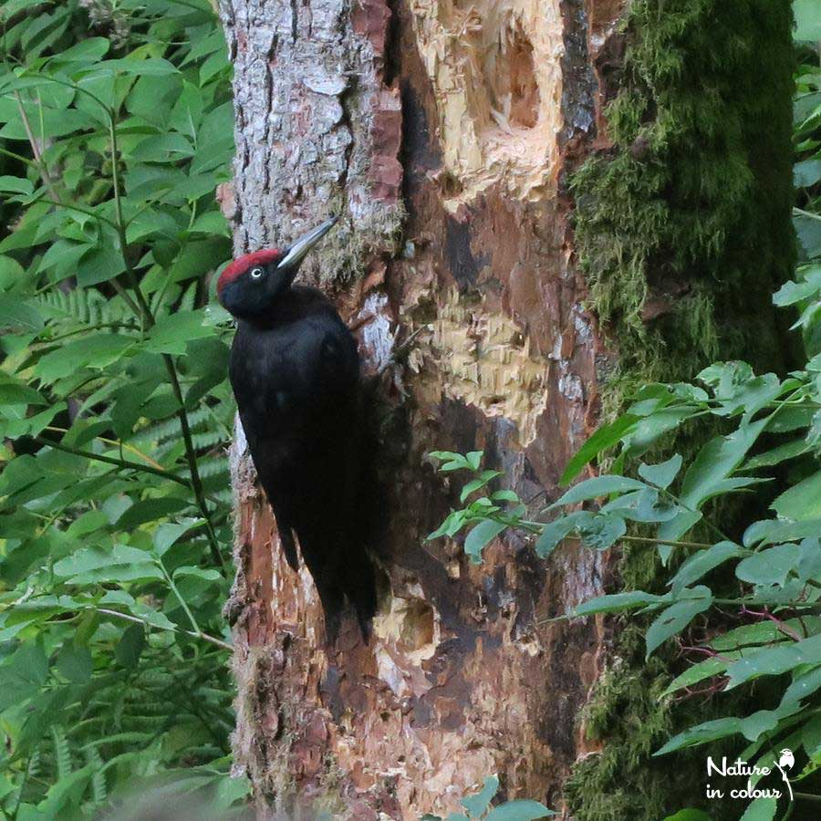 Black woodpecker: the largest of all European woodpeckets and a common sight in the Slovenian forests.