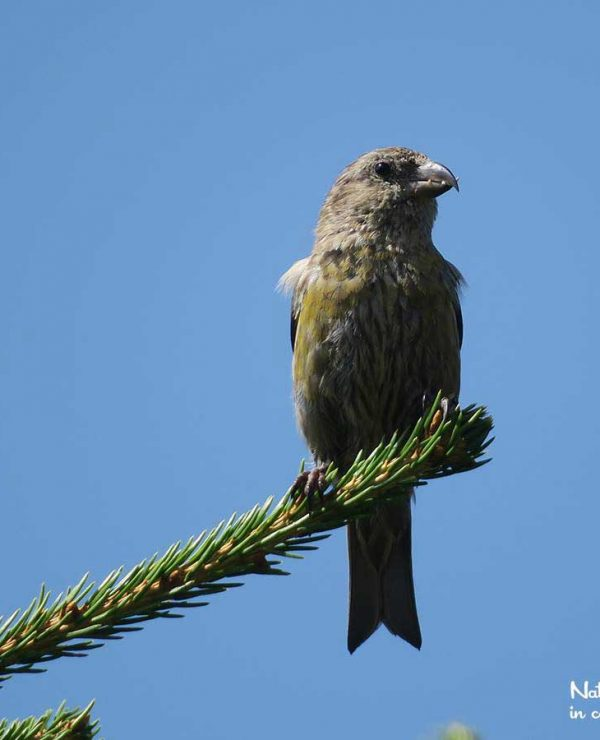 Crossbills are curiously adapted to a diet of spruce and fir seeds.