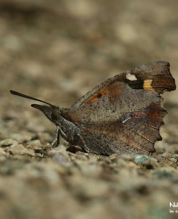 The enigmatic Nettle-tree butterfly is well camouflaged, even when he is sitting in plain sight