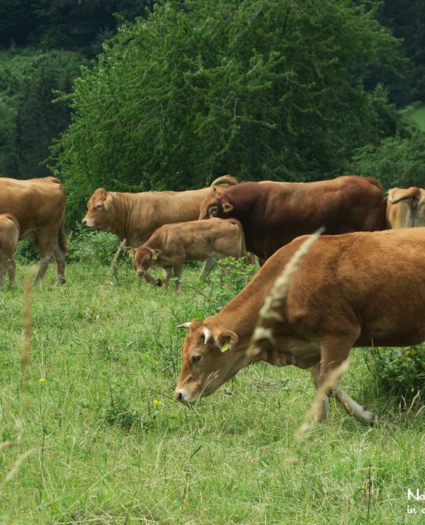 Cattle ranching is a viable agriculural practise in the Brown Bear area in Slovenia
