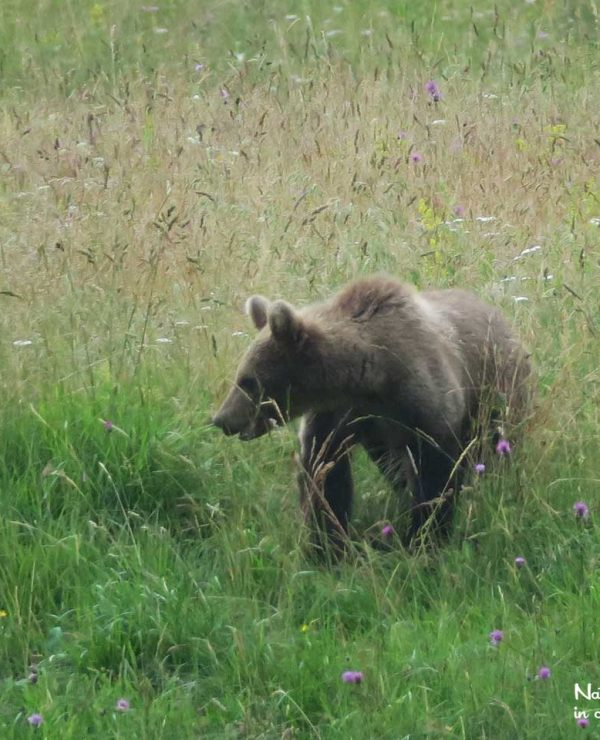 Subadult brown bear fouraging in a meadow near the Kočevje forest