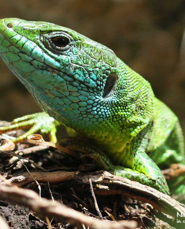 Green lizards are widespread in Southern Slovenia. However, they are nowehere abundant and we need some luck to see one ..,