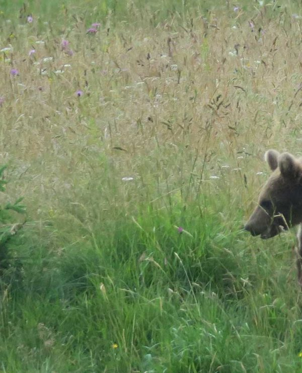 Brown bear in Slovenia