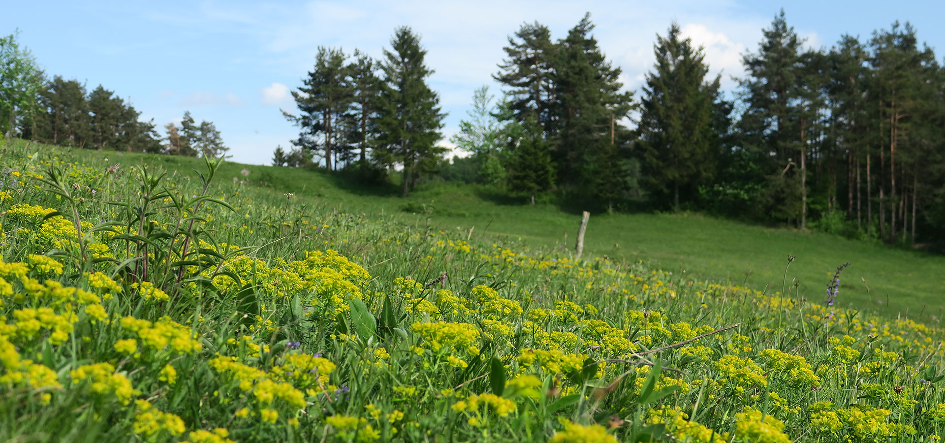 Meadow with Cypress Spurge - Euphorbia cyparissia