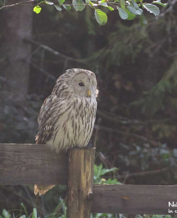 The Ural owl is widespread in the Slovenian forests, but more often heard than seen.