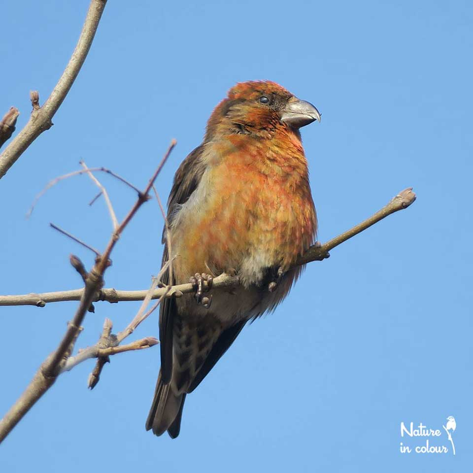 Crossbills open cones to get to spruce and fir seeds, for this, they use their curiously crossed bill