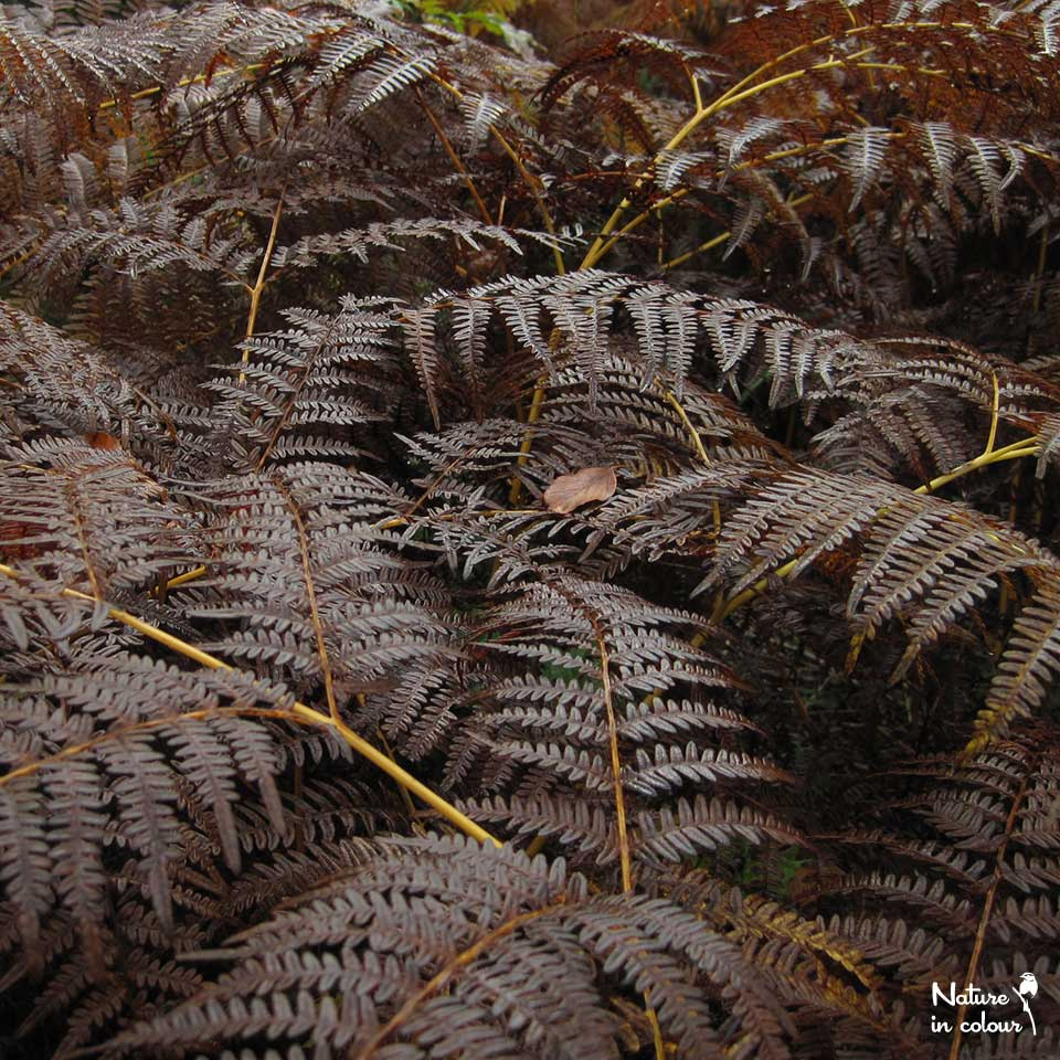 In autumn, Bracken fern colour in hues of copper and gold