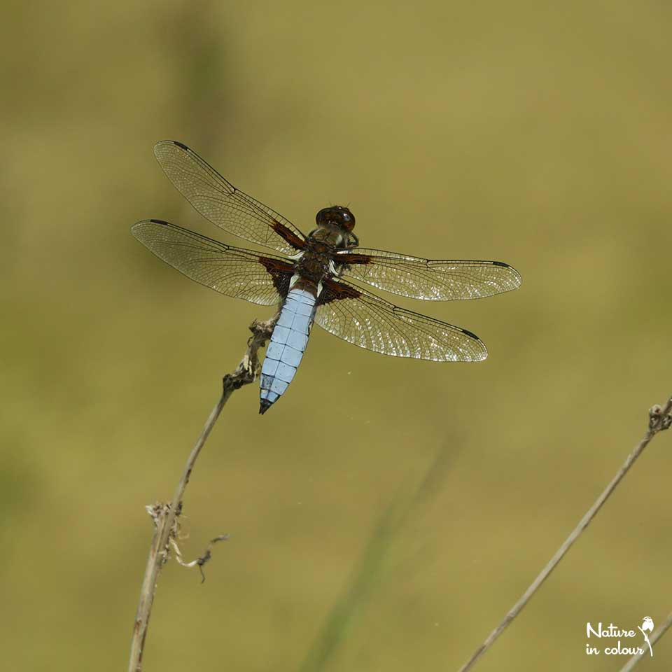 This male Broad-bodied chaser is still a virgin: during mating, females leave lasting scratches in blue the waxy layer on his abdomen.