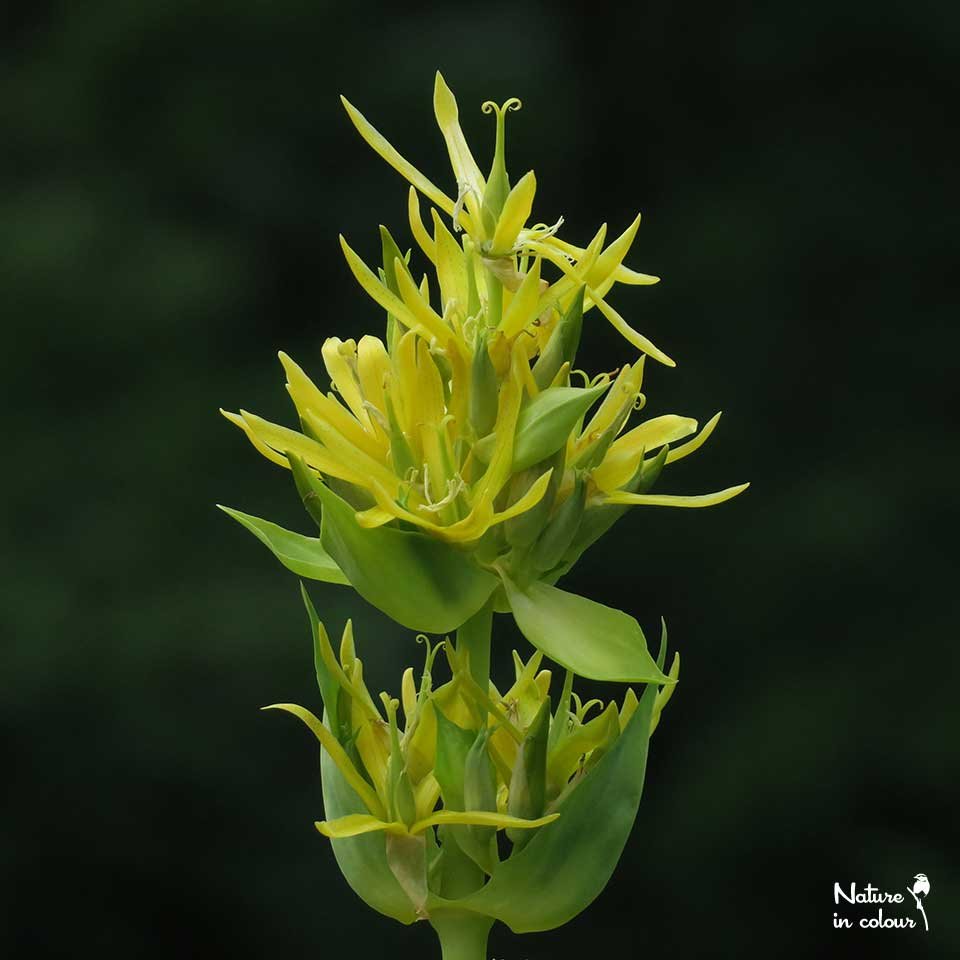 Yellow gentian is usually associated with the Alps, but it also occurs in some forest meadows in southern Slovenia!