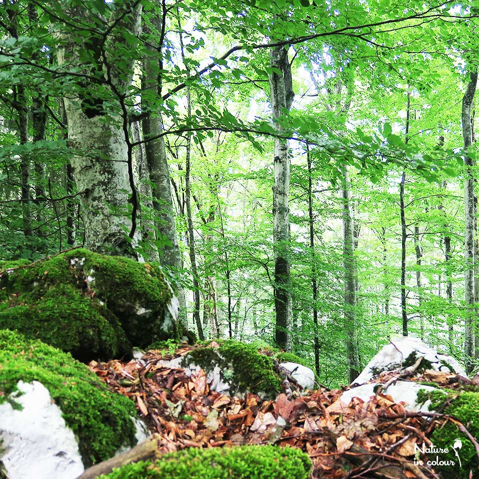 The beautiful Slovenian forests are dominated be Beech trees.
