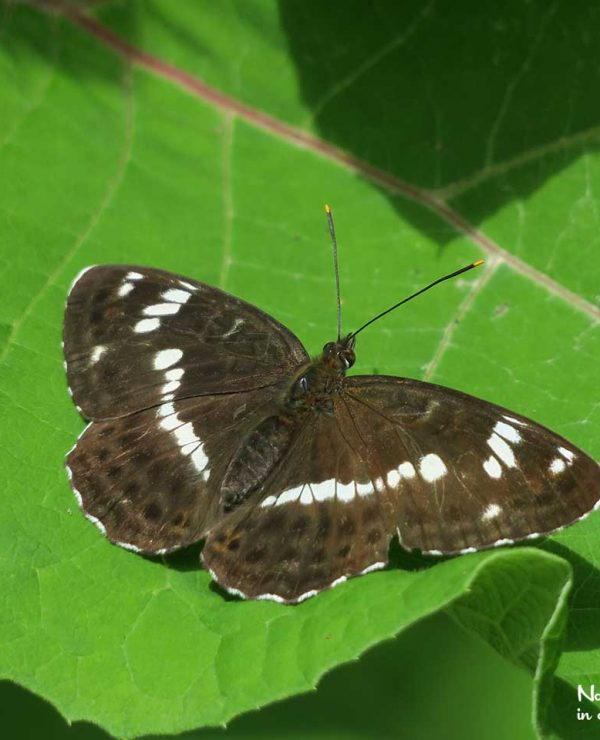 White admirals are forest butterflies. In summer, they bask on leaves along the roads.
