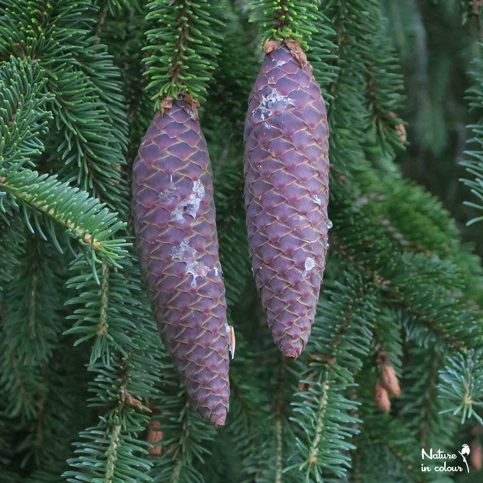 Spruce cones ripen in summer, protected by a sticky raisin.