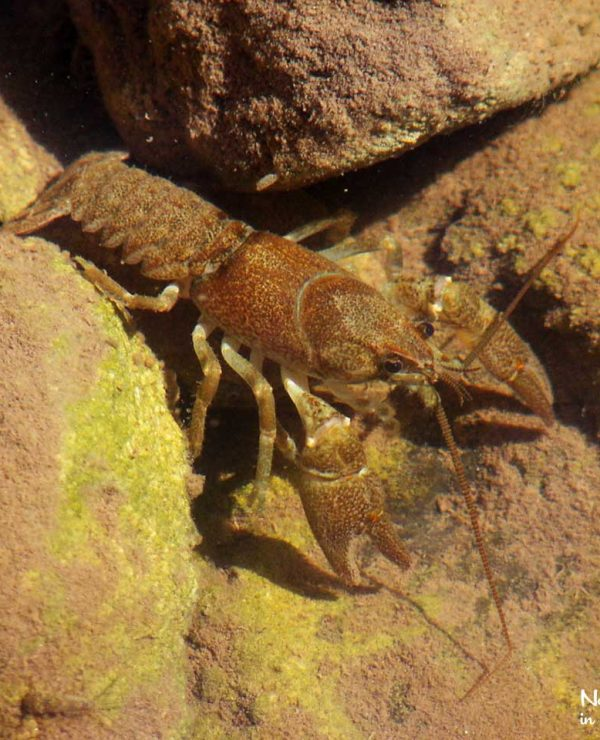 Stone crayfish are a sign that the ater quality remains good and the habitat undisturbed.