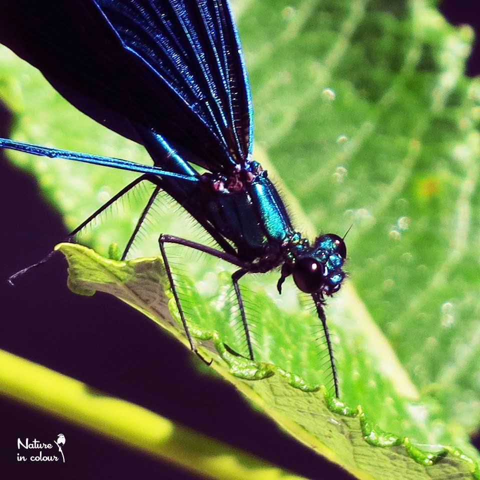 A beautiful Beautiful demoiselle
