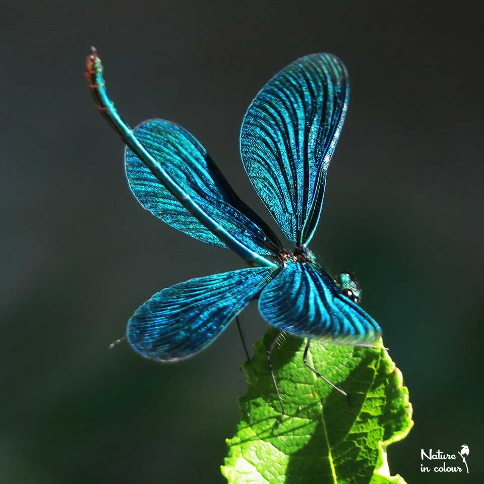 This is a Beautiful demoiselle, but it is actually a male ...