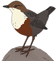 Dipper: a typical bird from fast mountain streams