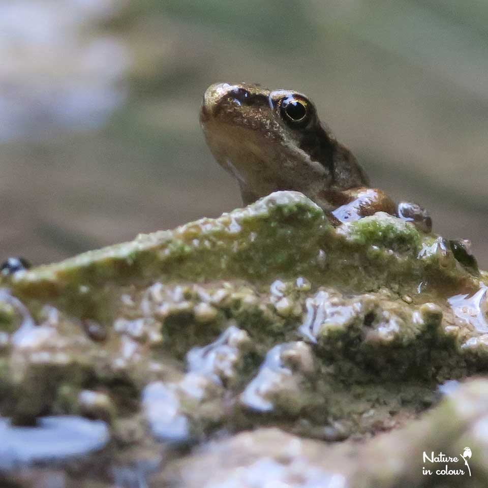 A baby Grassfrog takes his first steps on land